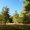 Piney Woods - Trees - Blue Sky - Tall Grass